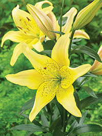 AOA Hybrid Lily Fields of Gold