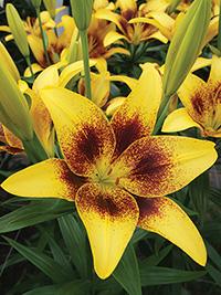 LA Hybrid Lily Golden Stone