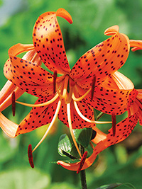 Species Lily Henryi