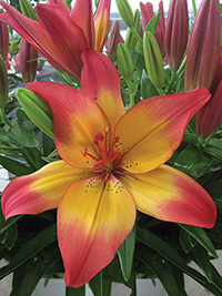 Asiatic Lily Heartstrings