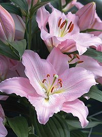Oriental Lily Je t'aime