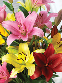 Lily LA Hybrid Mix - 10 BULBS