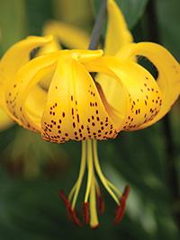 Species Lily Leichtlinii