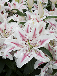 Oriental Lily Lovely Day