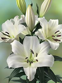OT Hybrid Lily Lowland
