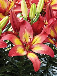 Pot Asiatic Lily Majestic Joy