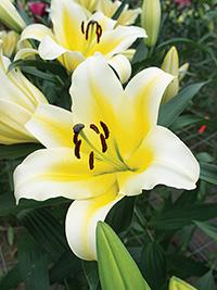 OT Hybrid Lily Manissa