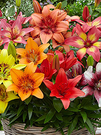Potted Asiatic Lilies, 3 bulbs per pot - FREE SHIPPING