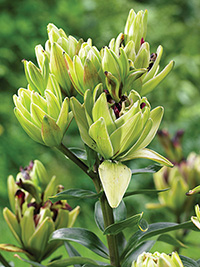 Double Asiatic Lily Mystery Dream