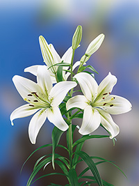 Asiatic Lily Navona