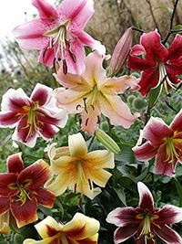 OT Hybrid Lily Mix