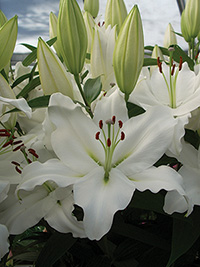 Oriental Lily Pacific Ocean