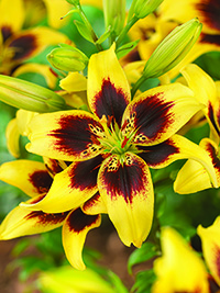 Asiatic Lily Pieton