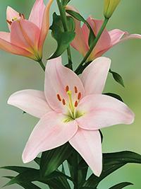 LA Hybrid Lily Pigalle