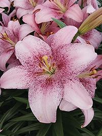 LA Hybrid Lily Pink Brush