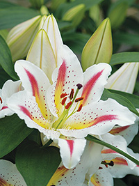 Oriental Lily Playtime