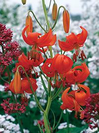 Species Lily Pumilum