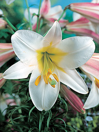 Christmas Lily Regale