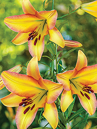 OT Hybrid Lily Rising Moon - Please select for more information