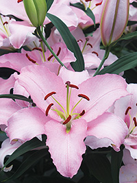 Oriental Lily Rubiano