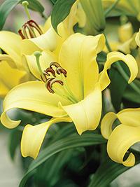 OT Hybrid Lily Serano