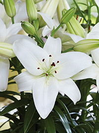 Pot Asiatic Lily Sparkling Joy