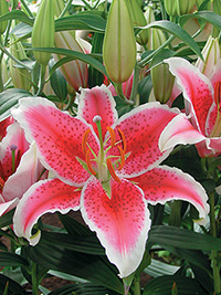Oriental Lily Star Fighter
