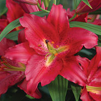 Oriental Lily Tessala - PACK OF 5