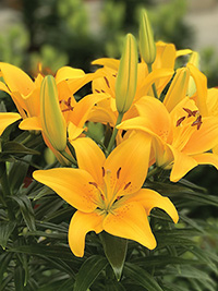 Pot Asiatic Lily Tiny Bee