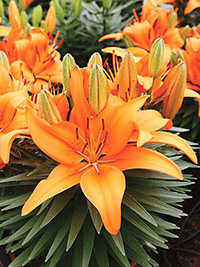 Pot Asiatic Lily Tiny Invader