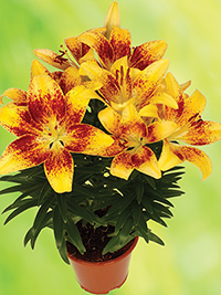 Pot Asiatic Lily Tiny Nugget