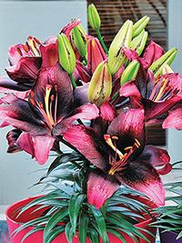 Pot Asiatic Lily Tiny Poems