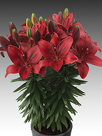 Pot Asiatic Lily Trendy Havana