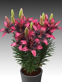 Pot Asiatic Lily Trendy Santo Domingo