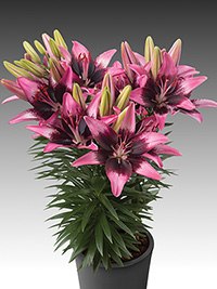 Pot Asiatic Lily Trendy Savannah