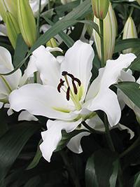 OT Hybrid Lily Tuparro
