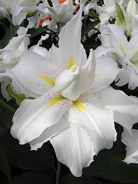 Double Oriental Lily Twinkling Star