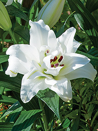 Double OT Hybrid Lily White Eyes