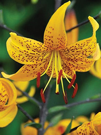 Tiger Lily Yellow Bruse