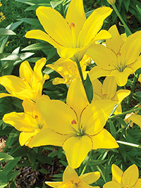 Asiatic Lily Yellow Cocotte