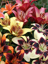 Patio Asiatic Lily Mix - 10 Bulbs