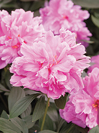Peony Dr Alexander Fleming - Clearance