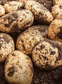 Main Crop Potato Agria