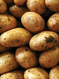 Seed Potato Ilam Hardy - PACK OF 10