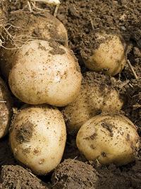 Early Potato Jersey Benne