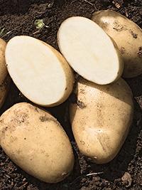 Early Potato Liseta