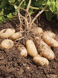 Early-Main Potato Nadine
