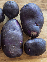 Seed Potato Purple Passion  - PACK OF 10
