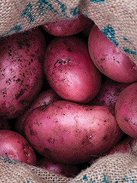 Seed Potato Red Rascal