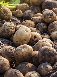 Main Crop Potato Rua